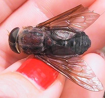 Horse Fly - Tabanus calens - female