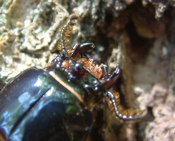 Antennae an mouth parts - Odontotaenius disjunctus