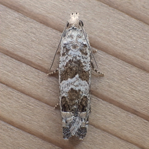 Tortricidae: Unknown Pelochrista - Pelochrista