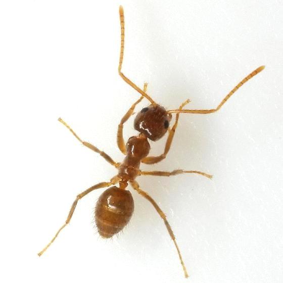 Tawny Crazy Ant - Nylanderia fulva - female