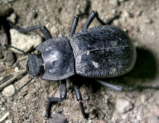 darkling - Stenomorpha