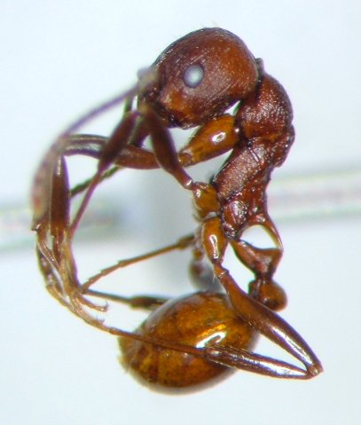 Ant 14 - Aphaenogaster tennesseensis