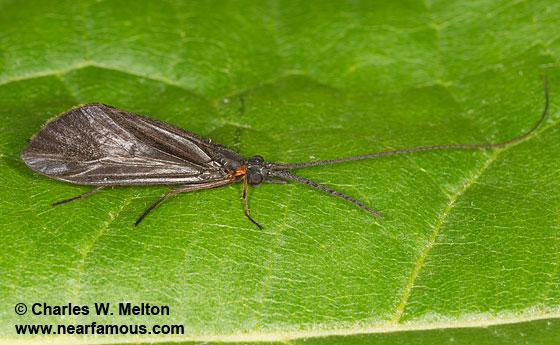 Phylloicus mexicanus - male