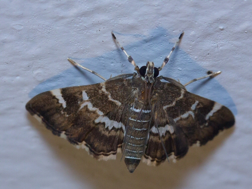 unknown moth - white banded legs - Hymenia perspectalis