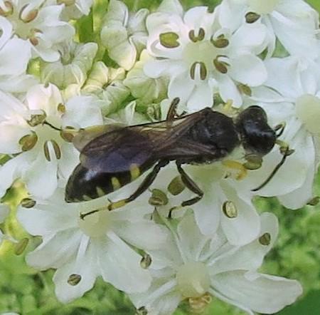 Square-headed Wasps (Crabroninae) » Crabronini » Crabronina - Ectemnius maculosus