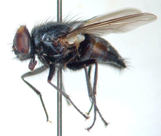 Muscina pascuorum - male