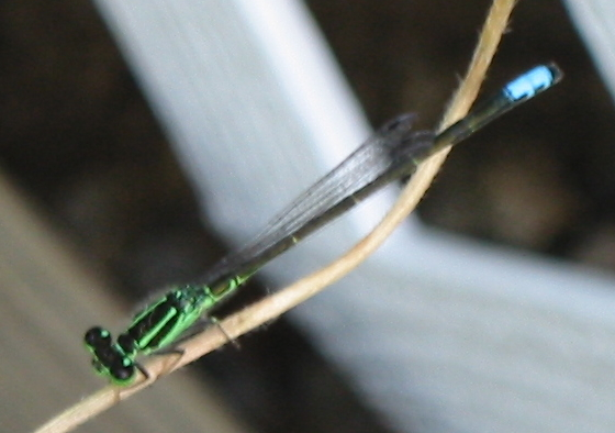 Eastern Forktail - Ischnura verticalis - male