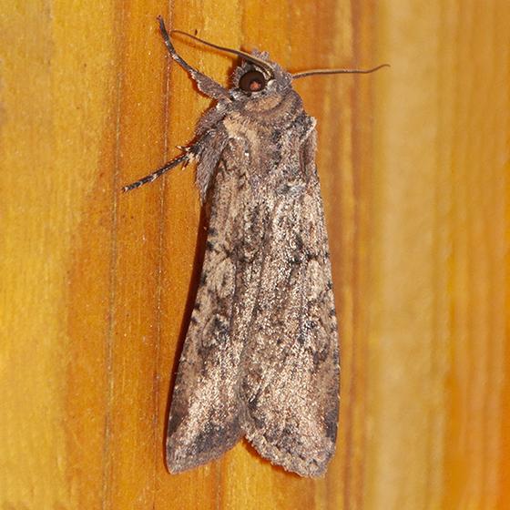 Unidentified Moth-C - Peridroma saucia