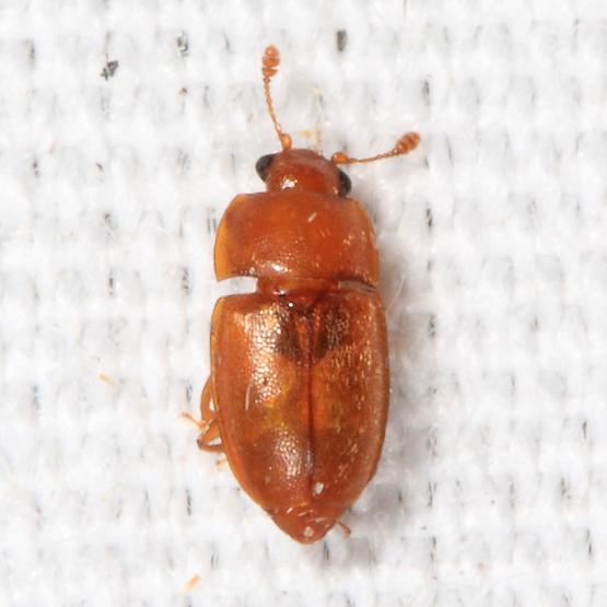Nitidulid - Epuraea pallescens