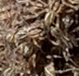 Wolf spider mama; species? - Rabidosa