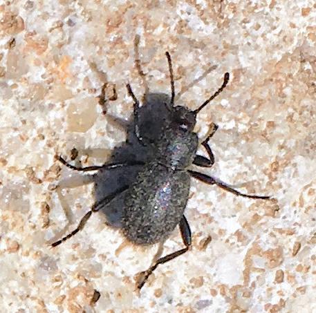 Beetle in remote central NV - Eleodes hirsuta