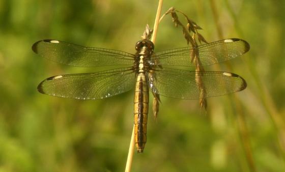 Female spangled skimmer - Libellula cyanea - female