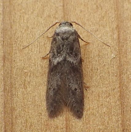 Blastobasidae: Asaphocrita aphidiella - Asaphocrita aphidiella