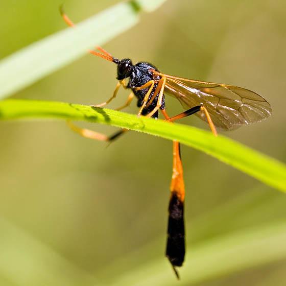 Ungainly Orange and Black Wasp - female