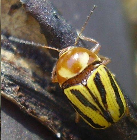 beetle - Cryptocephalus calidus