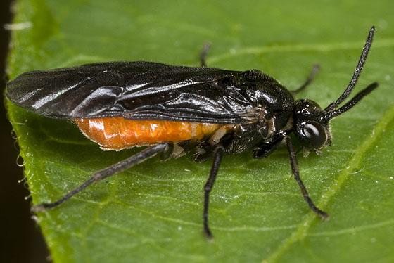 Sawfly 1888 - Sphacophilus cellularis - female