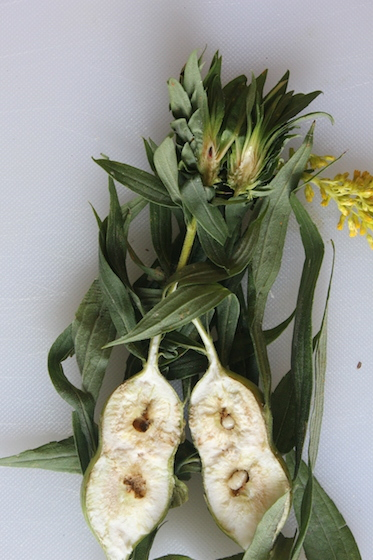 Goldenrod rosette/bunch gall, top  - Rhopalomyia solidaginis