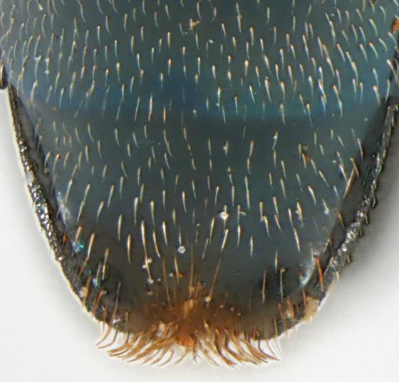 Agrilus defectus LeConte - Agrilus defectus - male