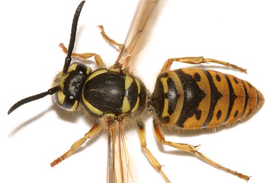 Queen Yellowjacket - Vespula maculifrons - female