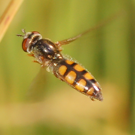 Syrphid - Platycheirus