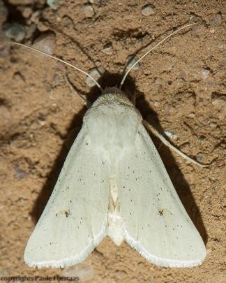 2871 White Moth - Protogygia album
