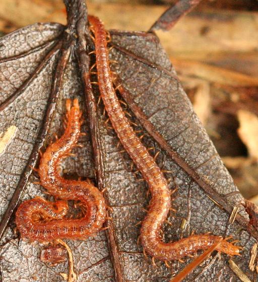 Soil Centipedes - Strigamia branneri