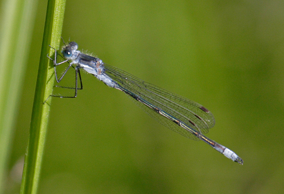 Lyre-tipped Spreadwing (without spread wings!) - Lestes unguiculatus