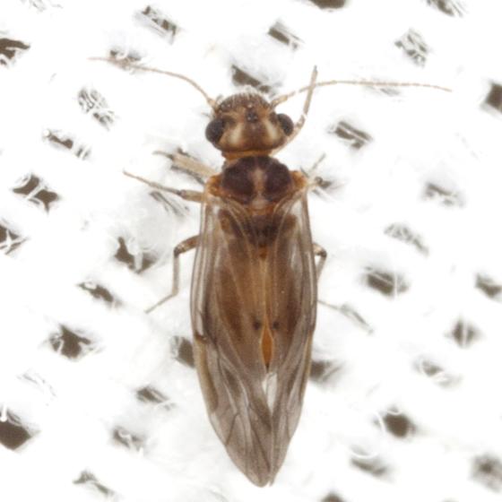 Stout Barklouse  - Peripsocus stagnivagus
