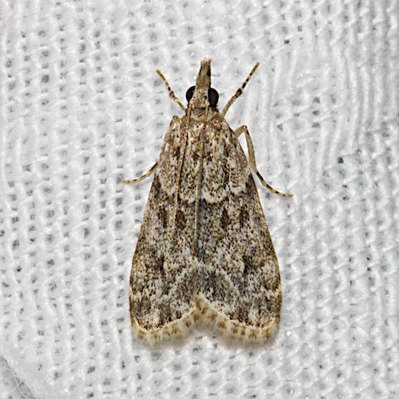 Hodges#4719 - Eudonia heterosalis