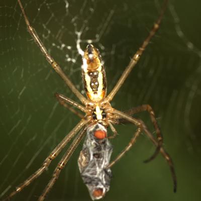 Banded Argiope Spider - Argiope trifasciata