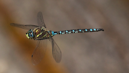 ?Paddle-tailed Darner?