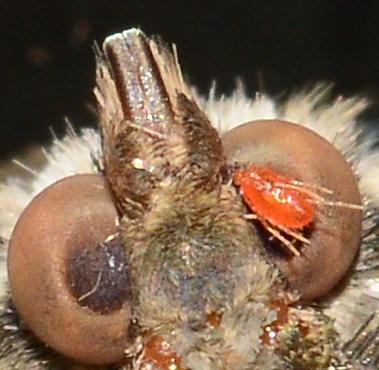 Mite on moth eye?