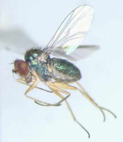 Dolicho - Chrysotus - female