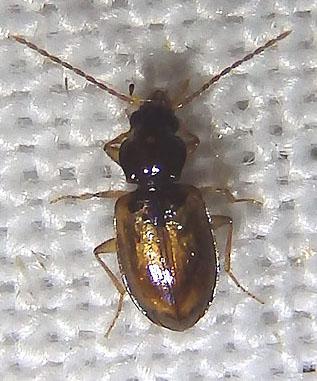 golden beetle - Tachys proximus