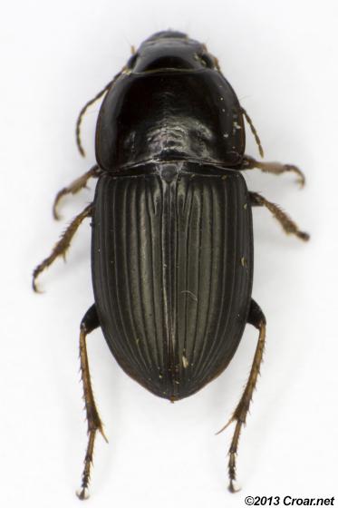 Anisodactylus - Anisodactylus dulcicollis - female