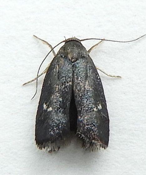 Pennsylvania Moth  - Menesta tortriciformella