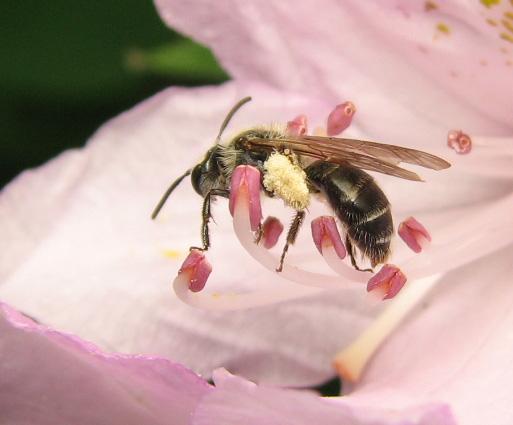 Bee on native azalea - Andrena cornelli - female