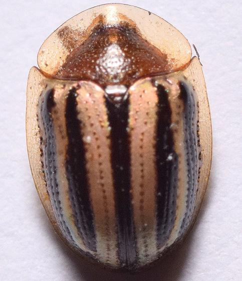Agroiconota - Agroiconota bivittata