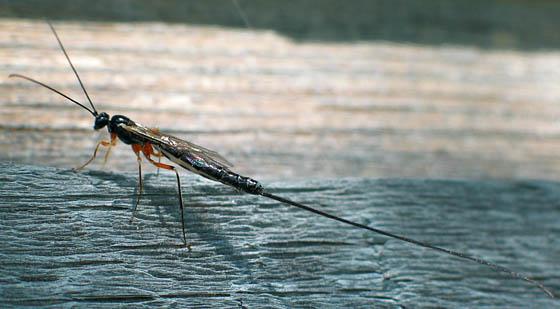 Ichneumon Wasp? - female