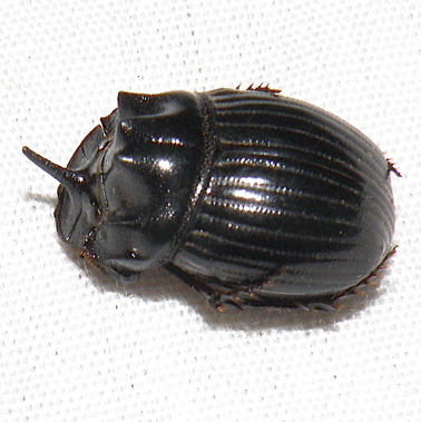 Dung Beetle - Copris