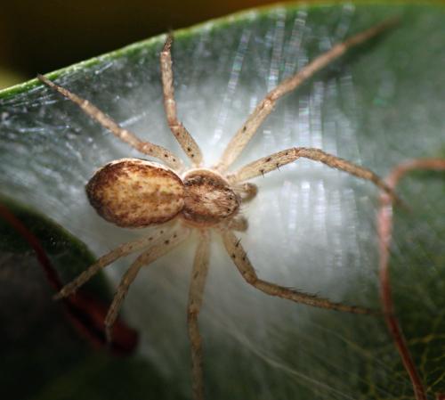 spider - Philodromus dispar - female