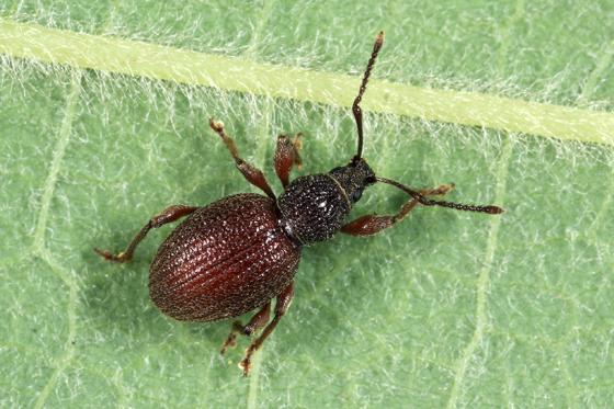 Weevil - Otiorhynchus ovatus