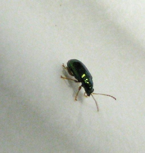 Tiny beetle - Gathering 2008 - Crepidodera nana