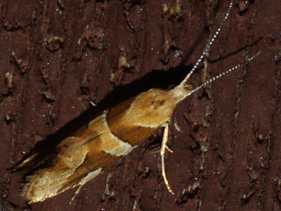 Plutellid Moth - Eidophasia vanella