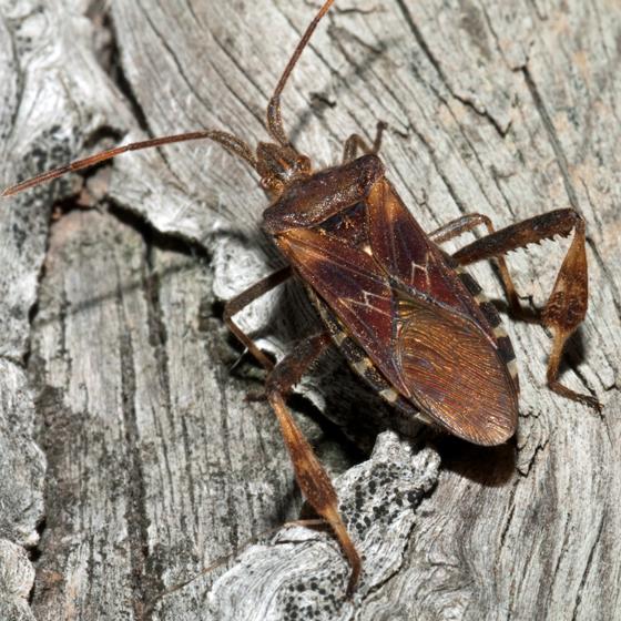 Very Large Seed Bug? - Leptoglossus occidentalis