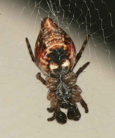 orb weaver - Cyclosa conica - male