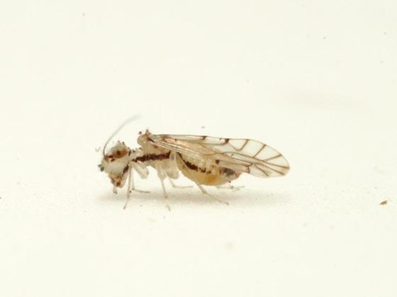 Lachesilla floridana - female