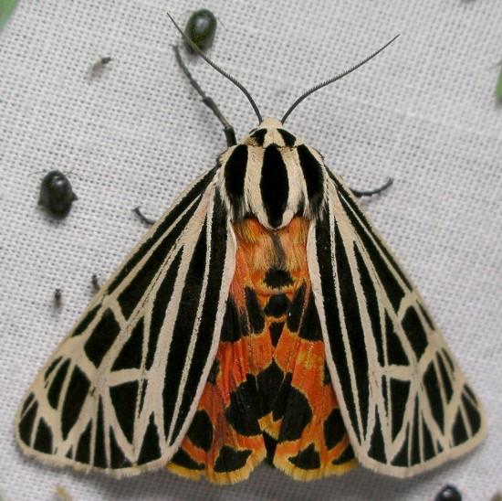 moth - Apantesis virgo