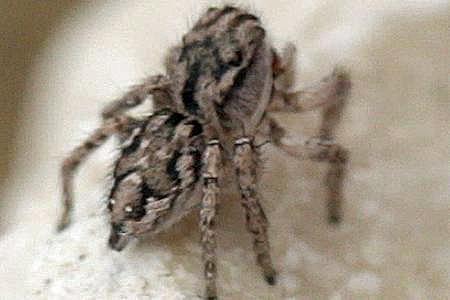 Jumping Spider - Habronattus texanus - female