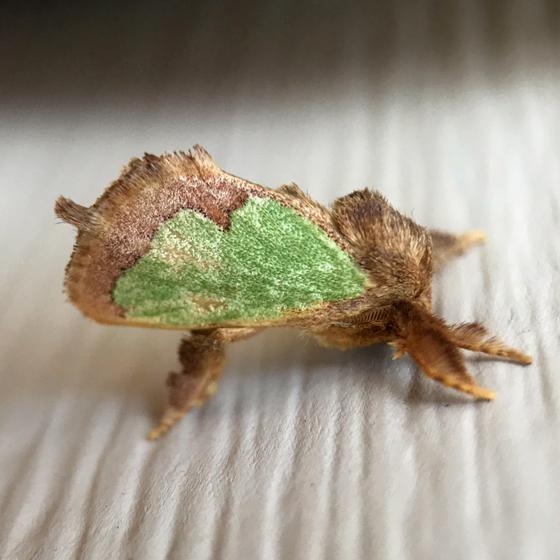 Moth 3 8/17/17 - Euclea